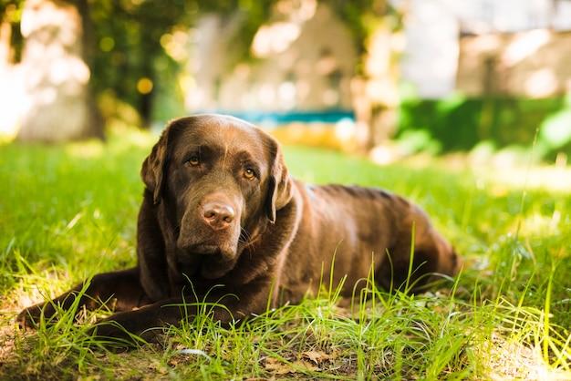 Portret van een hond die op groen gras ligt