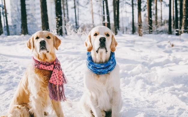 Portret van een hond die sjaal in openlucht in de winter draagt. twee jonge golden retriever spelen in de sneeuw in het park. kleren
