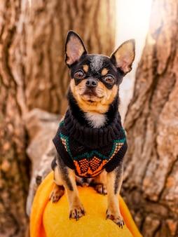 Portret van een hond in een trui. rasechte chihuahua op een wandeling in kleding.