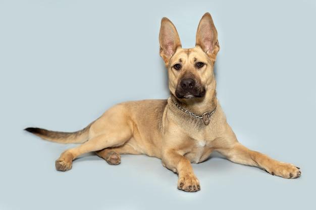 Portret van een hond met grote oren op een blauwe achtergrond.