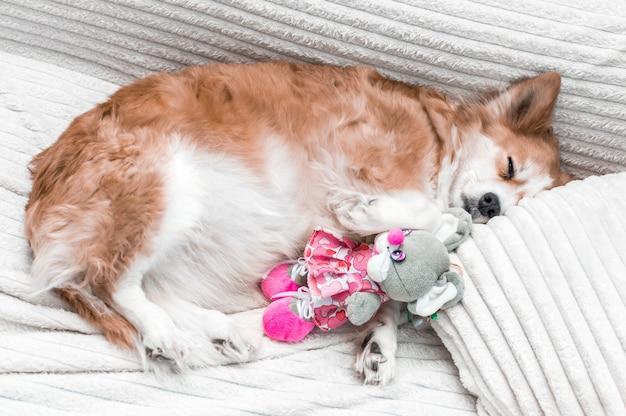 Portret van een hond op een bed close-up. de hond slaapt op het kussen. de hond slaapt met een speeltje