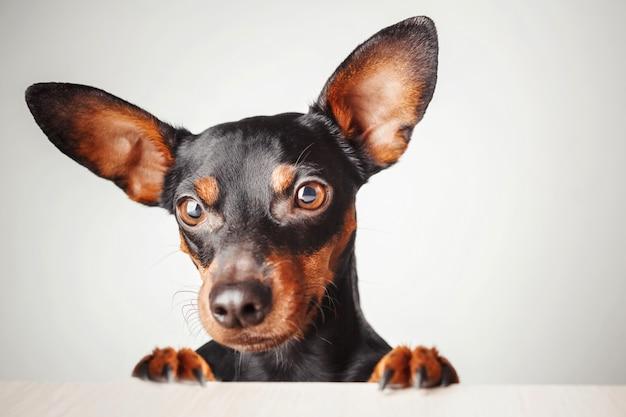 Portret van een hond op een witte achtergrond.