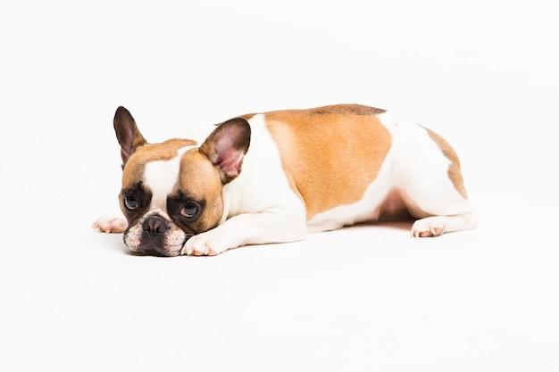 Portret van een hond op wit. de franse bulldog liegt en ziet er droevig uit