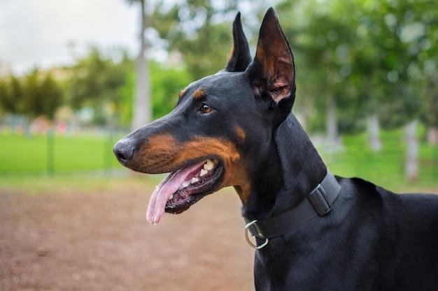 Portret van een hond van het ras doberman