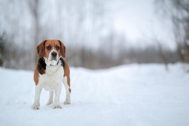 Portret van een hondenras amerikaanse beagle wandelen in het winterbos