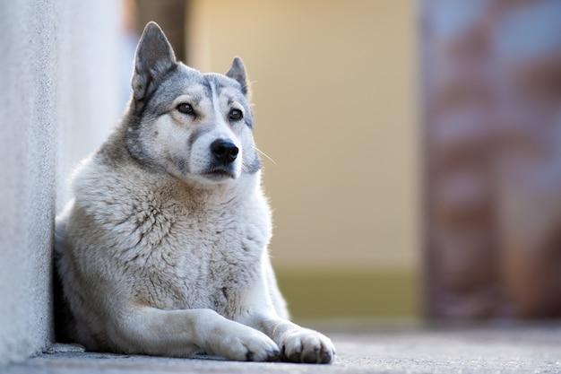 Portret van een hondenras west siberische laika zitten buiten in een tuin.