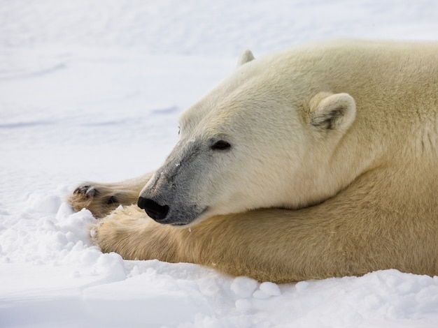 Portret van een ijsbeer. detailopname. canada.