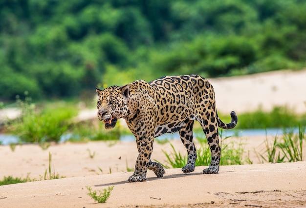 Portret van een jaguar in de jungle