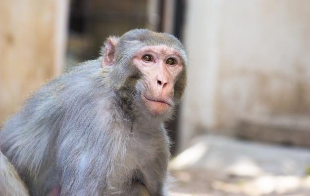 Portret van een jonge aap ook bekend als de resusaap die in de camera zit te kijken