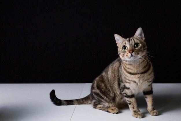Portret van een jonge mooie kat die op zwarte achtergrond wordt geïsoleerd. hij heeft bruine en zwarte vacht en groene ogen. thuis of studio, binnenshuis. lifestyle.