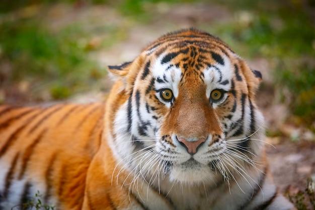 Portret van een jonge tijger in het bos