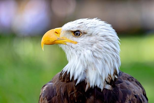 Portret van een kale adelaar in de natuur