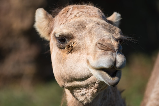 Portret van een kameel close-up
