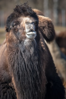 Portret van een kameel met lange donkere vacht. selectieve aandacht. de achtergrond is wazig. verticaal.