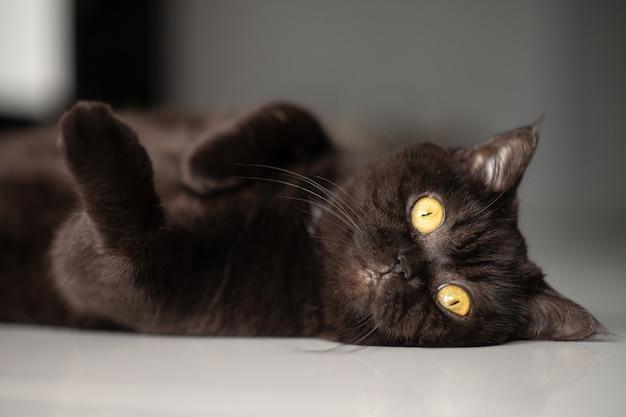 Portret van een kat. schotse korthaar zwarte kat. de kat ligt op een witte vloer en kijkt naar de camera