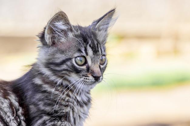 Portret van een klein grijs gestreept katje dat zorgvuldig vooruit kijkt