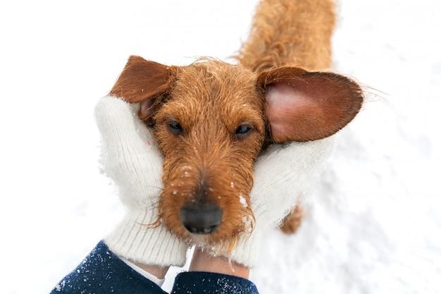 Portret van een kleine bruine ruwharige teckel op een winterwandeling