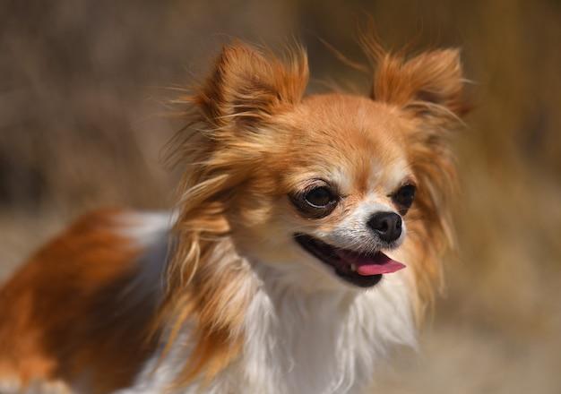 Portret van een kleine chihuahua in de natuur