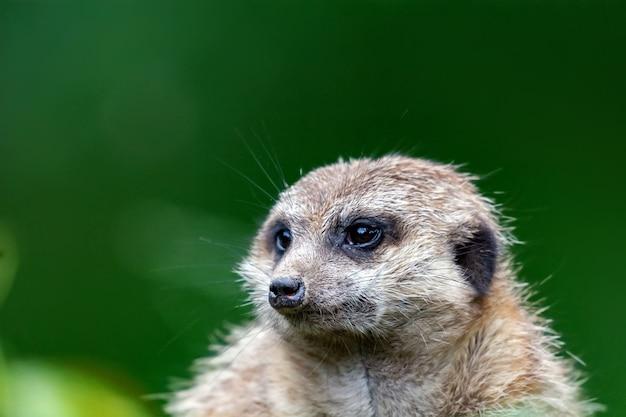 Portret van een kleine meerkat uit de mangoestfamilie
