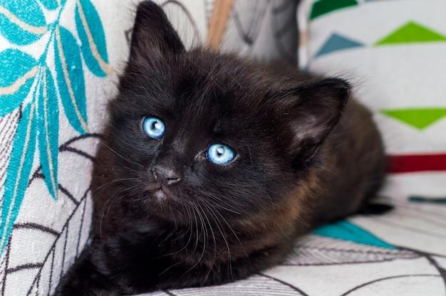 Portret van een kleine zwarte kat met blauwe ogen die op leunstoel rusten
