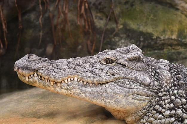 Portret van een krokodil