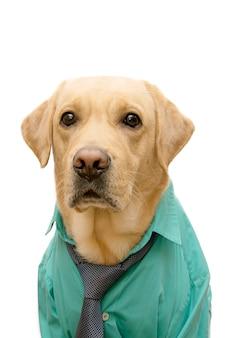 Portret van een labrador hond gekleed in een zakelijke stijl.
