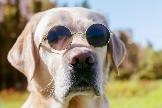 Portret van een labrador hond met glazen close-up.