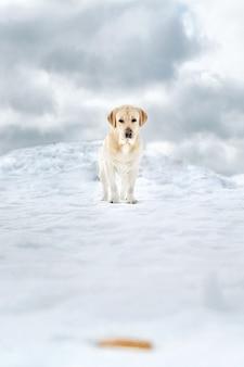 Portret van een labrador, op wandeling in het besneeuwde veld. de hond kijkt naar de camera