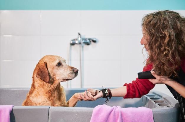Portret van een labrador retriever in een badkuip handtastelijk wordende en starend naar zijn kapper die een ventilator houdt om hem te drogen