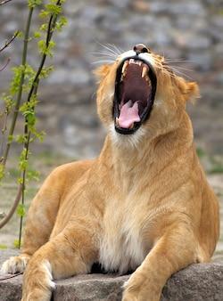 Portret van een leeuw close-up kwaad.