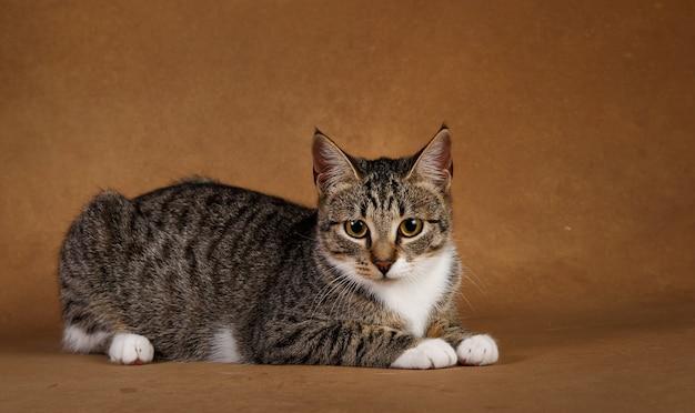 Portret van een leuk grijs en wit gestreept katje dat op bruine achtergrond ligt