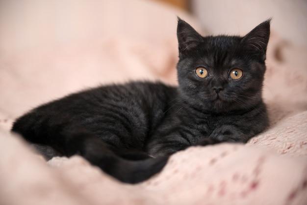Portret van een leuk schots katje dat op een voederbak ligt. ogen van een kitten. het kitten kijkt