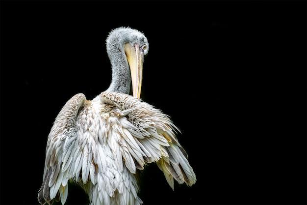 Portret van een lichtgekleurde pelikaan die prachtig afsteekt tegen het zwart