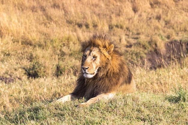 Portret van een liggende leeuw op een heuvel in het park van masai mara, kenia, afrika