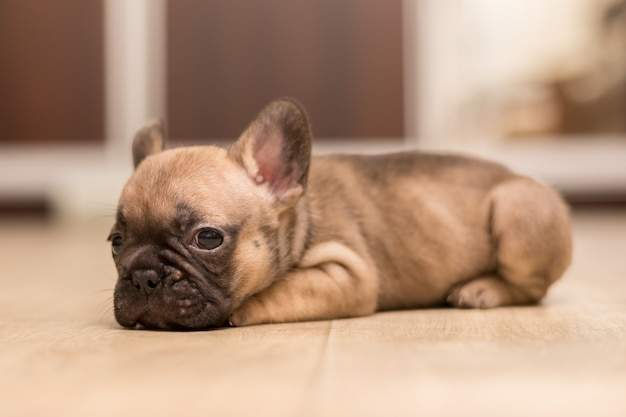 Portret van één maand oude franse bulldog-puppy. schattige kleine pup.