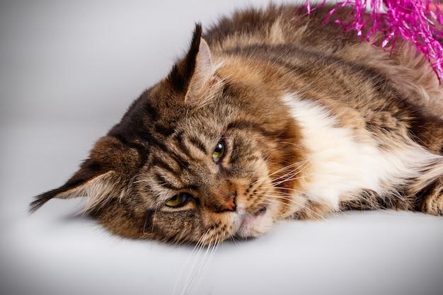 Portret van een maine coon-kat op gekleurde muur