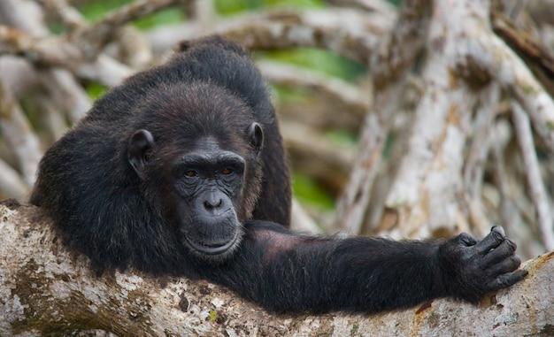 Portret van een mannelijke chimpansee close-up