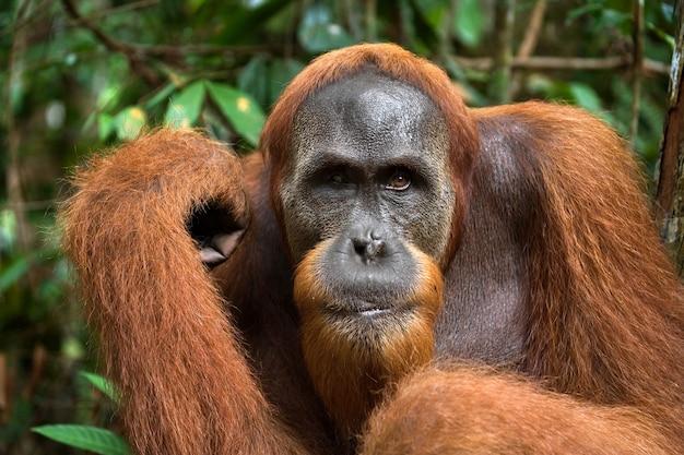 Portret van een mannelijke orang-oetan. detailopname. indonesië. het eiland kalimantan (borneo).