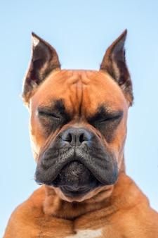 Portret van een mooi ras van de bokserhond