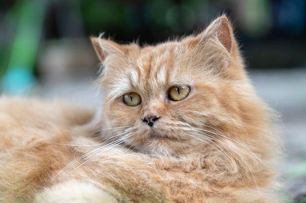 Portret van een mooie gemberkat