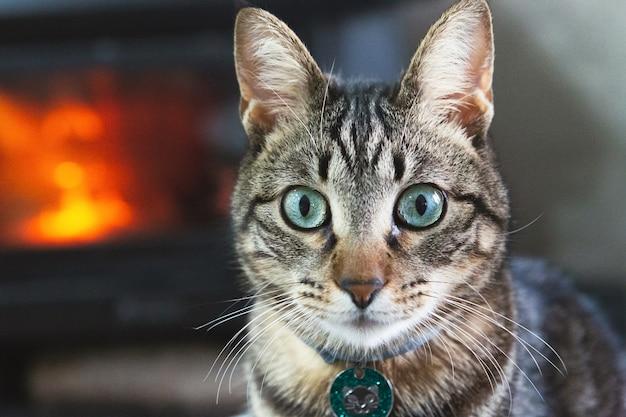 Portret van een mooie huiskat thuis met een vuur op de achtergrond