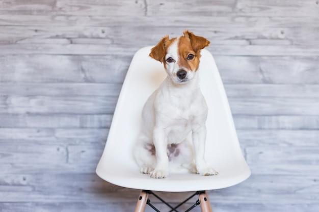 Portret van een mooie kleine hondzitting op een witte stoel