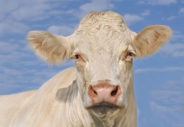 Portret van een mooie witte koe op blauwe hemel