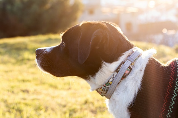 Portret van een mooie zwart-witte hond in het park met zonsondergang