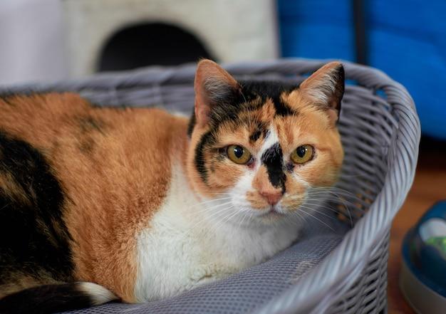 Portret van een nieuwsgierige lapjeskat die op een huisdierenbed rust