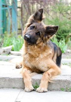 Portret van een nieuwsgierige rasechte hond van de duitse herdershond die op een werf legt