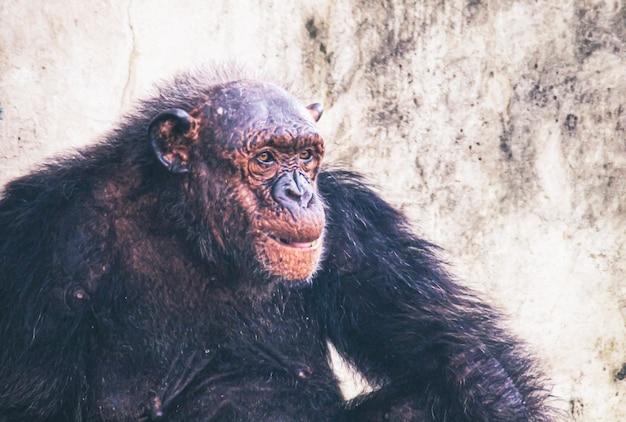 Portret van een oud gorillawijfje, dat alleen zit. slimme stare net rock