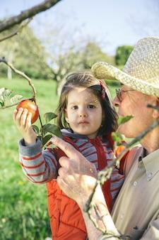 Portret van een oudere man met een hoed met een schattig klein meisje dat verse biologische appels plukt op een zonnige herfstdag. grootouders en kleinkinderen vrije tijd concept.
