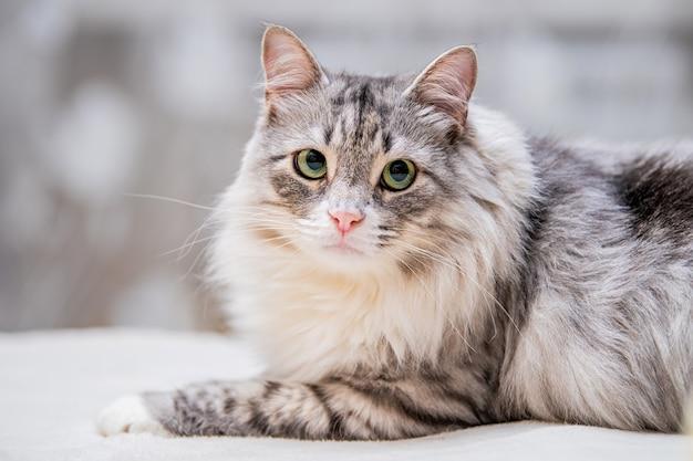 Portret van een pluizige schattige grijze kat die op de bank ligt