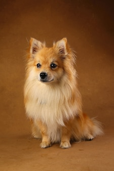 Portret van een pomeranian spitz hond op bruin in de studio